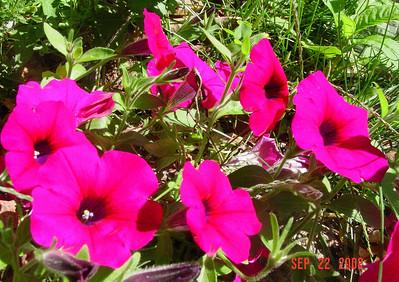 garden-1074 petunias