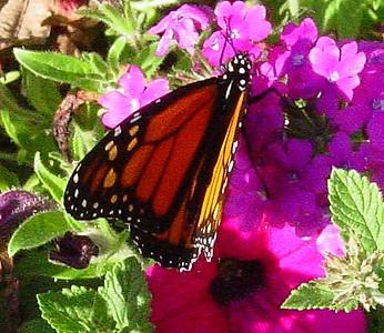 garden-1105 monarch butterfly