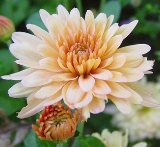 garden-1072b fall mums