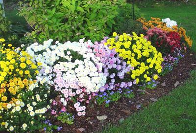 garden-1187 fall mums