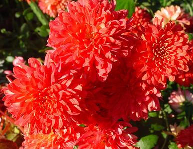garden-1189 fall mums