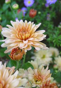 garden-1073 fall mums