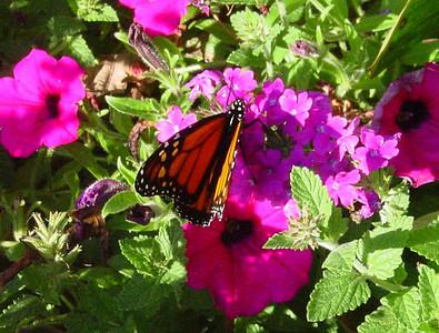 garden-1105a monarch on flowers