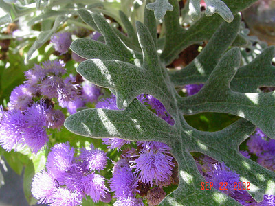 garden-1059 ageratum & dusty