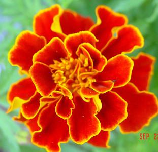 garden-1063 marigold