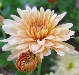 garden-1073b fall mums