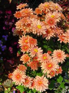 garden-1193 fall mums