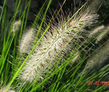 garden-1067 grasses closeup