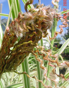 garden-1051 grasses opening