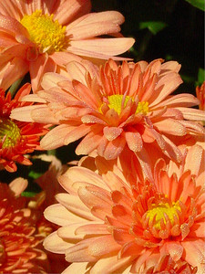 garden-1186 closeup apricot mum