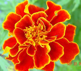 garden-1062 marigold