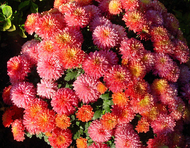 garden-1190 fall mums