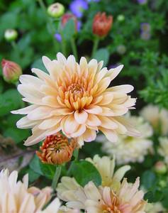 garden-1072 fall mums