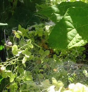 garden-1075 webs on hydrangea