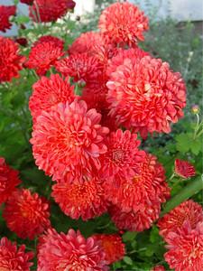 garden-1192 fall mums