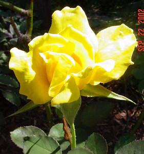 garden-1054 rose