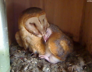 Molly owl v1 (04-05-10)