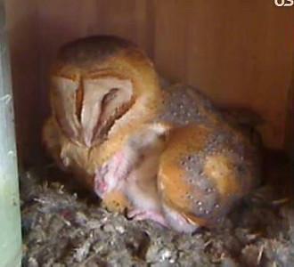 Molly owl v2 (04-05-10)