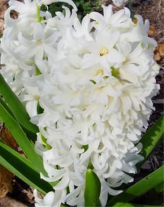 garden 04-03-2570 hyacinths