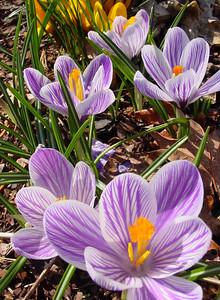 garden 04-03-2501 crocuses