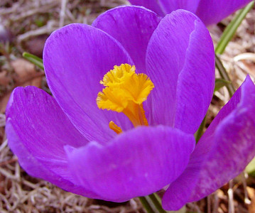 garden 04-03-2494 crocuses
