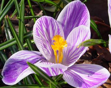 garden 04-03-2512 crocuses