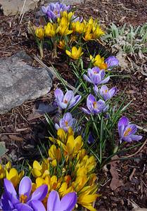 garden 04-03-2506 crocuses