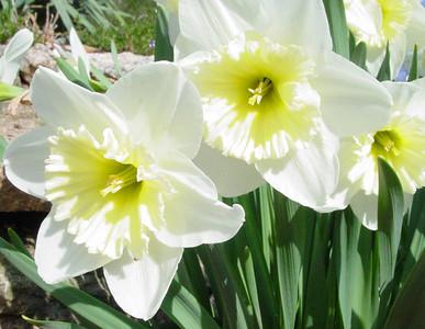 garden 04-03-2564 daffodils