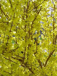 garden 04-03-2562 forsythia