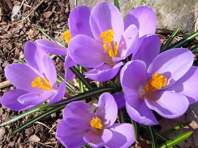 garden 04-03-2503 crocuses
