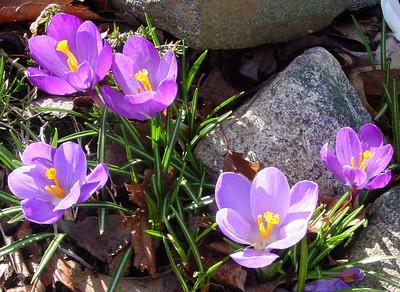 garden 04-03-2495 crocuses