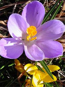 garden 04-03-2497 crocuses