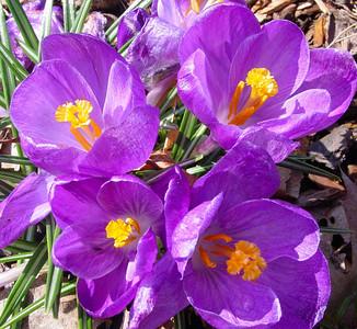 garden 04-03-2491 crocuses