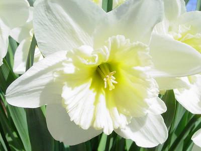 garden 04-03-2563 daffodils