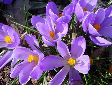garden 04-03-2510 crocuses