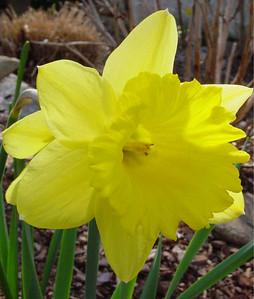 garden 04-03-2572 daffodils