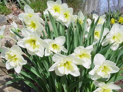 garden 04-03-2565 daffodils