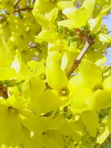 garden 04-03-2559 forsythia