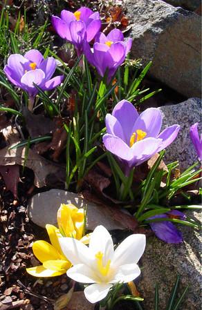 garden 04-03-2498 crocuses