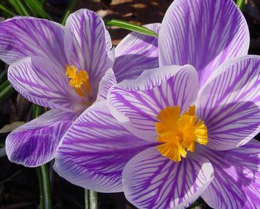 garden 04-03-2514 crocuses