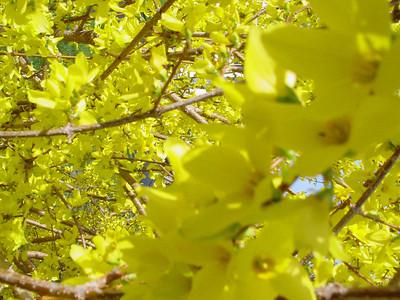 garden 04-03-2560 forsythia