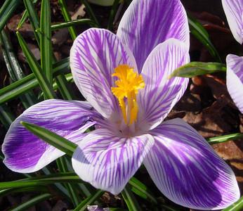 garden 04-03-2513 crocuses