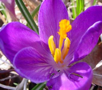 garden 04-03-2493 crocuses