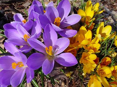 garden 04-03-2502 crocuses