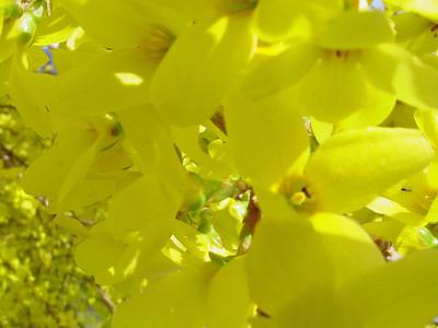 garden 04-03-2558 forsythia