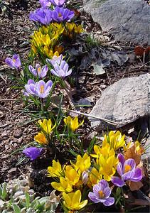 garden 04-03-2504 crocuses