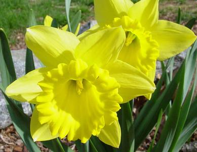garden 04-03-2568 daffodils