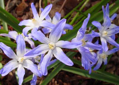 garden 04-03-2569 chinodoxia