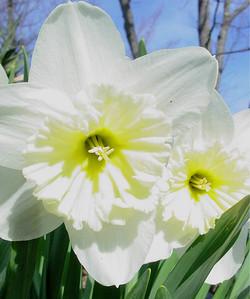 garden 04-03-2566 daffodils