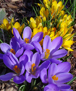 garden 04-03-2505 crocuses